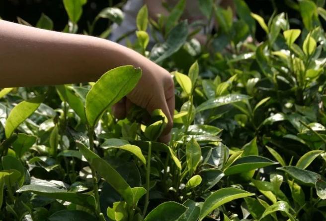 思茅:普洱的孩子怎能不懂茶