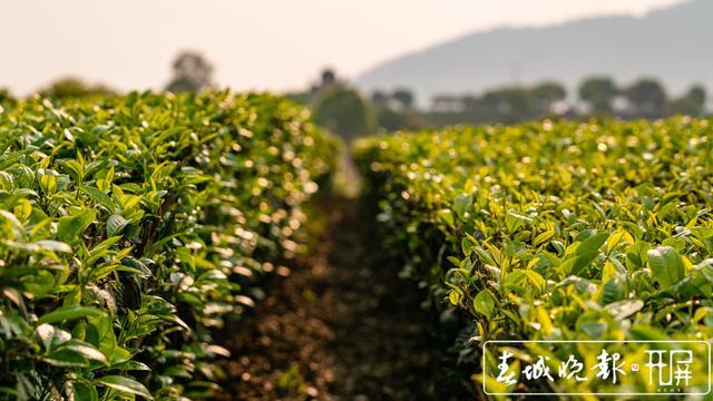 春茶系列报道3普洱困鹿山:茶树发芽率好于往年
